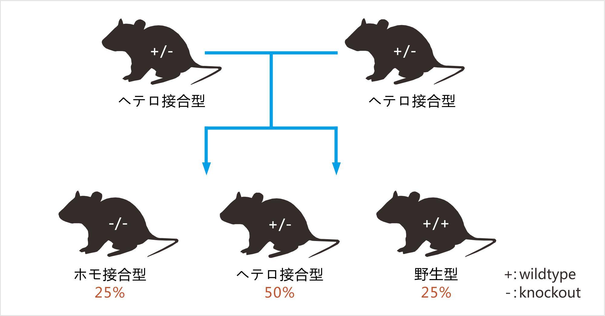 http://www.cyagen.jp/media/uploads/%D0%B8%D1%9E5%D0%B3%D0%B9%E4%BF%AE%E6%94%B9_kwSWvcl.jpg